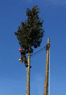 Baumfällung von Tilman Greiner aus Biberach an der Riss mit Seilklettertechnik