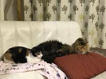 猫多頭飼い 三毛猫 長毛猫 猫 ねこ