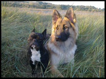 Mes chiens