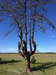 Туру (шаман-дерево) усохшее пару лет назад из-за излишнего почитания.