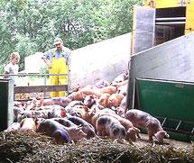 Schonende Tiertransporte mit eigenen LKWs