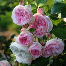 Rosenscheren & Blumenscheren