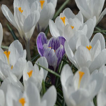 Krokus-Pflanzung: Crocus vernus 'Jeanne d'Arc' und Crocus vernus 'King of Striped'