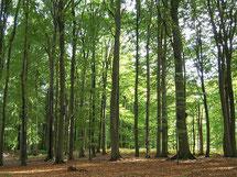Der NABU-Fledermauswald: Ein 1 ha großer Buchenaltbestand.
