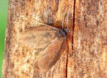 Ein Männchen aus der Gattung erkennt ihr an den gefiederten, großen Antennen.