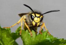 Gewöhnliche Wespe