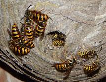 Das Nest der Sächsischen Wespe