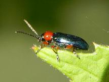 Wenn der Käfer erwachsen ist, erkennt man ihn