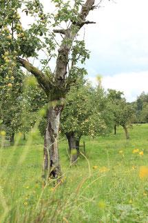 Streuobstwiese mit totholzreichen Altbäumen