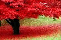 Albero rosso per dimagrire: olio essenziale