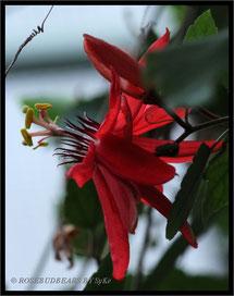 Passionsblume Berggarten Orchideenhaus
