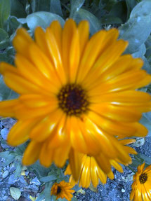 Nr. 18 Ringelblume ( Calendula officinalis )
