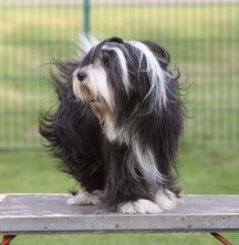 Bearded Collie Max