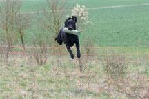 Labrador Retriever Craigton