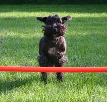 Cesky Terrier Pretty