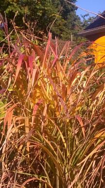 Misacanthus sinensis Ghana