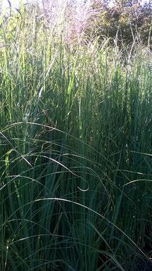 Panicum virgatum 'Northwind' - Riesen-Rutenhirsem