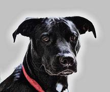 Le collier électrique de dressage pour chien : principes et risques