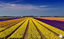 """Bild: a flower field in Lisse, Netherlands, """"Lisse flower field""""; www.2u-pictureworld.de"""