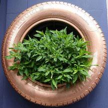 "GROUPS Tyres gardens - Jardins hors sol en pneus  <a href=""https://www.flickr.com/groups/2886505@N24/"">www.flickr.com/groups/2886505@N24/</a>  GROUP Architecture Eco Bio Nature / 建築 大自然 <a href=""https://www.flickr.com/groups/2892905@N20/"">www.flickr.com/g"