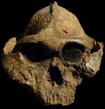 Paranthropus boisei o Australopithecus boisei.