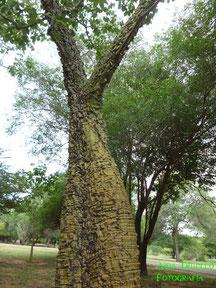 Sibucara (Psedobombax septenatum) del J.B.M.