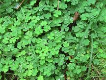 Kleeblätter, Pfälzer Wald, Umwelt, grün