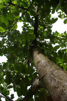 Jungbaumschnitt, Kronenpflege, Totholzentfernung, Erziehungsschnitt, Obstbaumschnitt