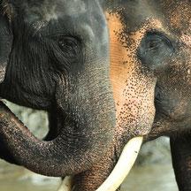 éléphants, phuket, Rawai, Maipreu, guide francophone