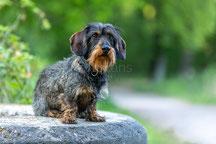 Dackel - Rauhaardackel  - Hund - Hundefotografie