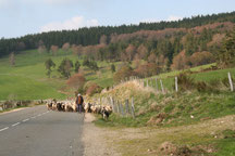 berger et ses moutons en gevaudan