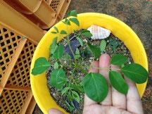 25℃以上の時期は3~5日で発芽