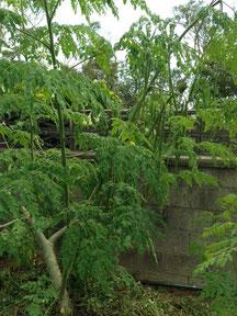 1本の木から沢山の鞘が出来ます