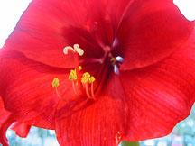 Amaryllis-Blüte (Foto: Carola De Marco)