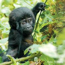 Berggorilla-Beobachtung in Uganda auf Campingsafari