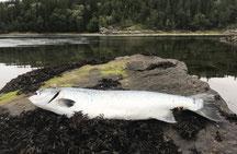 Lachse angeln in Norwegen, Meeresbucht, mit Blinkerrute