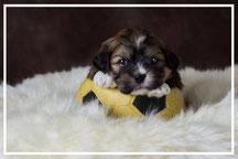 Boomer-pups-te-koop
