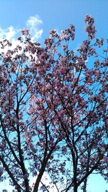 八重桜は、満開を少し過ぎたくらいで、まだ咲いてました。