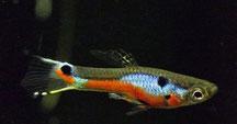 Paracyprichromis nigripinnis blue neon 'Chituta' F2