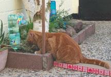 Roter Kater am Knabbern an der Frischetheke im Außenbereich, wo Katzenminze und Katzengras wachsen