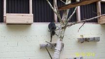 Kleines Kätzchen hangelt sich über an der Wand angebrachte Birkensstammstücke Richtung Boden des Freigeheges