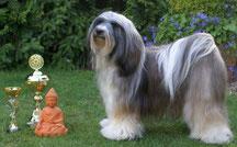 Ti La Shu Justify my Love  Tibet Terrier Hündin