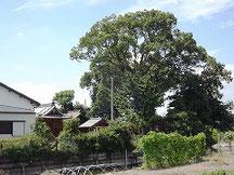老松神社の杜(ご神木/楠)