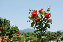 大山を背景にノッポの薔薇