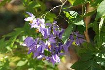 花名不詳 なす科の植物