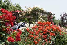 薔薇の轍 華やかな展望台