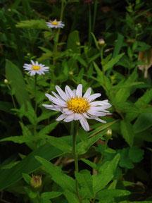 ハコネギク (箱根菊)