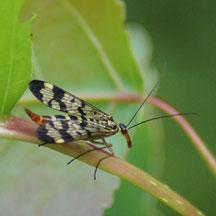 Mécoptère Panorpa communis