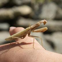 Mantodea Mantis religiosa