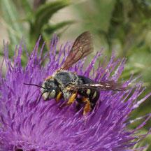 Hyménoptère Anthidium punctatum